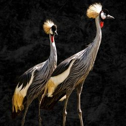 zoo_portraits_african_crowned_crain_bird__114934
