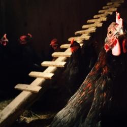 chicken_coop__130563
