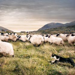 sheep_cat__118299