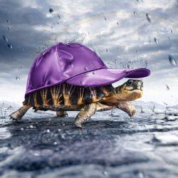 turtle_purple_cap_silk_cut_rain_drops__114858