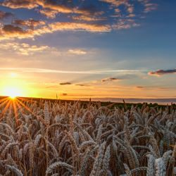 sun_rays_corn_fields__116564