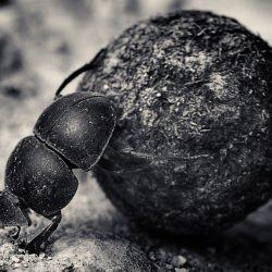 dung-beetle-antti-viitala
