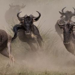 wildebeest_wildebeests_kenya__130573