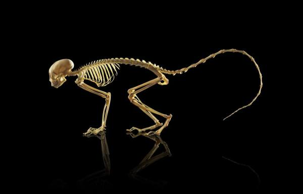 Squirrel Monkey Skeleton by Owen