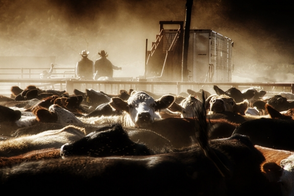 Cattle Corral by Jim