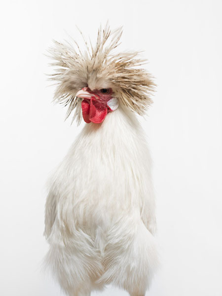 Photograph A Tamboly Rooster on One Eyeland