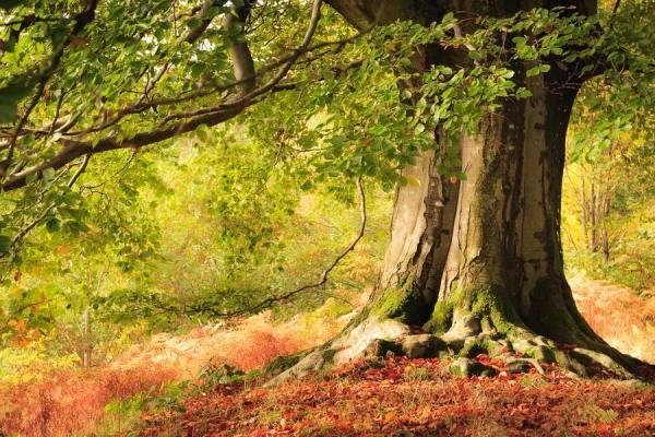 Photograph Joe Wainwright Autumn Beech In Cumbria on One Eyeland