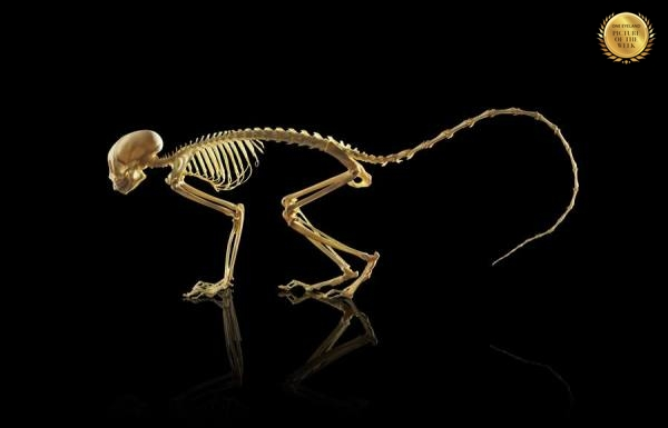 Photograph Owen Smith Squirrel Monkey Skeleton on One Eyeland