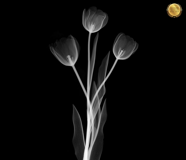 Photograph Nick Veasey Tulip on One Eyeland