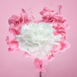 white-carnation-i-jirawat-plekhongthu