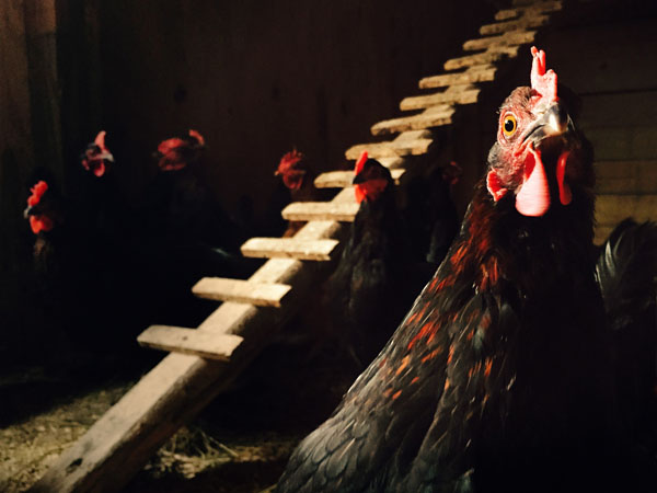 Photograph Andy Goodwin Chicken Coop on One Eyeland