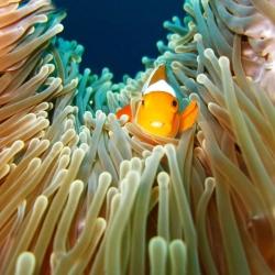 Cheeky Clownfish-Clarissa And Peddy-Finalist-NATURE-Underwater -281