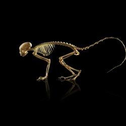 Animal Skeletons-Owen Smith-silver-SPECIAL-Digitally Enhanced -1012