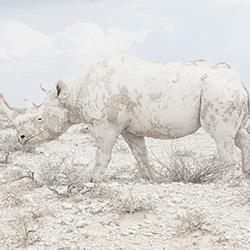 Rhino-Maroesjka Lavigne-silver-NATURE-Wildlife -3121