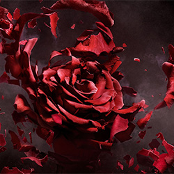 Exploding Rose-Jonathan Knowles-finalist-ADVERTISING-Product / Still Life-3385