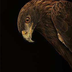 Golden Eagle-Chris Gordaneer-silver-NATURE-Wildlife -3850