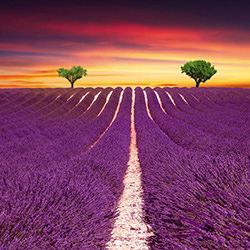 Lavender Fields, Provence-Steve Lash-finalist-NATURE-Landscapes -4134