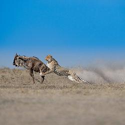 Movement-THOMAS VIJAYAN-bronze-NATURE-Wildlife -3927
