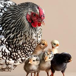 Chicken dance-Peter Samuels-bronze-NATURE-Wildlife -3999