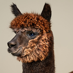 Alpacas-Peter Samuels-silver-NATURE-Wildlife -4554