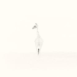 Giraffe Retreat-Andy Lerner-finalist-NATURE-Wildlife -4873