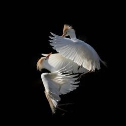 A tire d\ailes-Camille Briottet-finalist-NATURE-Wildlife -4957