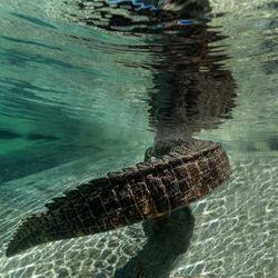 Florida Gator Tail-russell satterthwaite-finalist-NATURE-Underwater -5013
