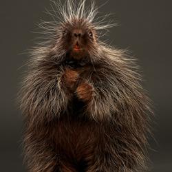 Stickers the Baby Porcupine-Peter Samuels-bronze-NATURE-Wildlife -4746