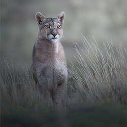 Chile, the Cougar is on the prowl-marcello galleano-silver-NATURE-Wildlife -5718