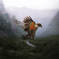 Kea in Flight-Jinal Govind-bronze-NATURE-Wildlife -5256