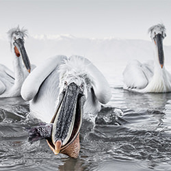 Dalmatian Pelicans-Tracey Lund-silver-NATURE-Wildlife -5770