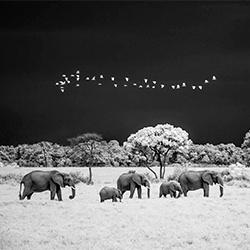 Elephants and stormy sky-Paolo Ameli-finalist-NATURE-Wildlife -5578