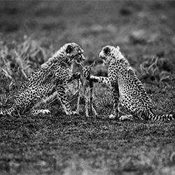 Die erste Lektion des Tötens. Kenia 1998-Tomasz Gudzowaty-Gold-NATURE-Wildlife -5651