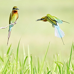 Blue tailed Bee Eaters-William chua-bronze-NATURE-Wildlife -5358