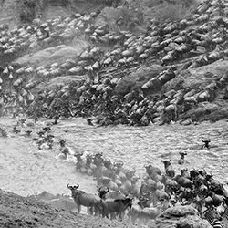 the great migration-William chua-silver-NATURE-Wildlife -5781
