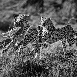 cheetahs-William chua-silver-NATURE-Wildlife -5782