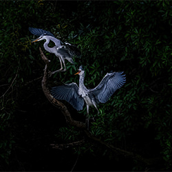 herons-William chua-finalist-NATURE-Wildlife -5584