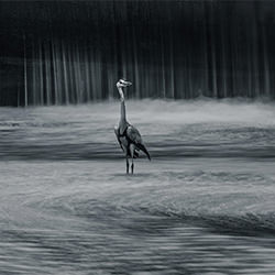 heron-William chua-silver-NATURE-Wildlife -5799