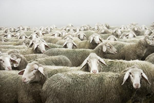 Photograph Carmen Spitznagel To Be A Sheep on One Eyeland