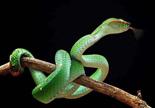 KIKIJIJI   CANADA..on ne vous dit pas ..TOUT - Page 6 One_eyeland_green_snake_by_shikhei_goh_71420