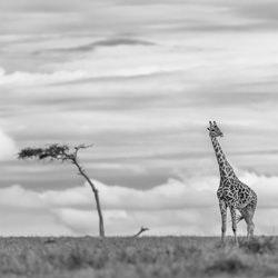 Skylined Giraffe-Zhayynn James-finalist-black_and_white-1317