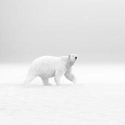 Polar Walk-Thomas Vijayan-bronze-black_and_white-1216