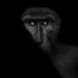Tonkean Macaque 2-Thomas Vijayan-bronze-black_and_white-1217
