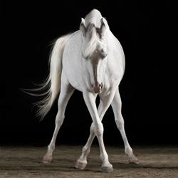 Cam the Arabian-Peter Samuels-bronze-black_and_white-1155