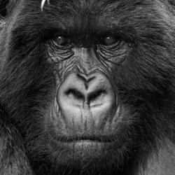 Silverback Stare-Jon Lloyd-finalist-black_and_white-2691