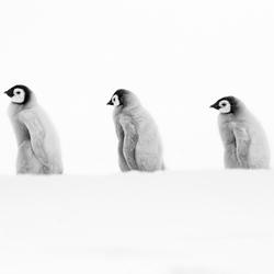 Emperor Penguin Buddy Chicks-Thomas Vijayan-finalist-black_and_white-2654