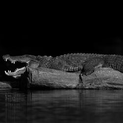Crocodile Rock-Zhayynn James-finalist-black_and_white-4375