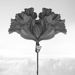 Zweiseitige Windblume-Kenneth Lam-gold-schwarz_und_weiß-4520