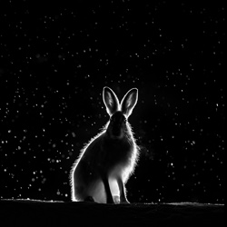 Wild hare-Arnfinn Johansen-finalist-black_and_white-6525
