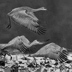 sandhill Crane-Tin Sang Chan-silver-black_and_white-6606